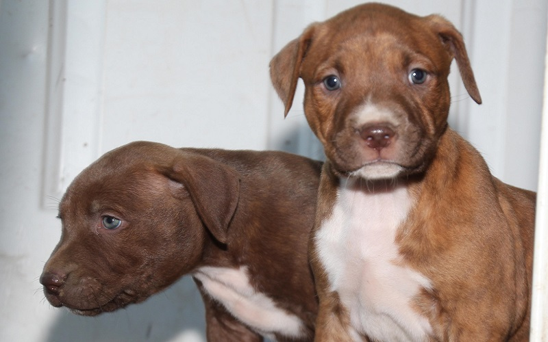 What to Feed a Pitbull Puppy